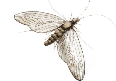 J:son&Co 58311 Заготовки для имитаций крылышек Realistic Wing Material For Caddis Spent / Stonefly Spent (фото, вид 1)