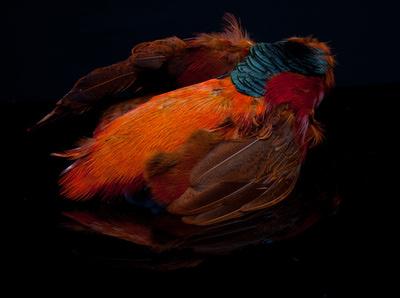 A.Jensen 53224 Перо золотого фазана Golden Pheasant Body Skin (фото, вид 1)