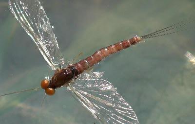 Artflies 11197 Сухая мушка Burnt Wing Spinner Rusty (фото, вид 2)