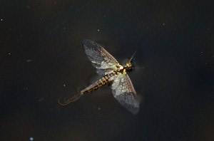 Artflies 11197 Сухая мушка Burnt Wing Spinner Rusty (фото, вид 4)