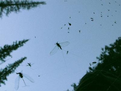 Artflies 11200 Сухая мушка Burnt Wing Spinner Sulfur (фото, вид 3)