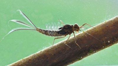 Artflies 14396 Мушка нимфа поденки Realistic Extended Body Swimming Nymph Brown (фото, вид 2)
