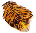 WAPSI 53268 Шейные перья золотого фазана Golden Pheasant Tippet Section