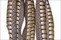 53079 Боковые хвостовые перья самки алмазного фазана Lady Amherst Side Tails