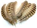 53198 Маховые перья самки фазана Pheasant Hen Ringneck Wing Quills Natural