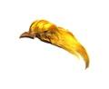53306 Загривок золотого фазана Golden Pheasant Topping Crest