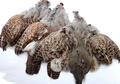 53323 Перо куропатки Hungarian Partridge Whole Skin
